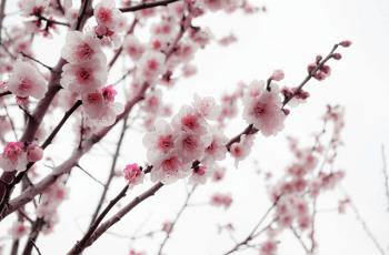 少し暗くなってきた頃の梅の花