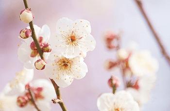 白い梅の花と蕾