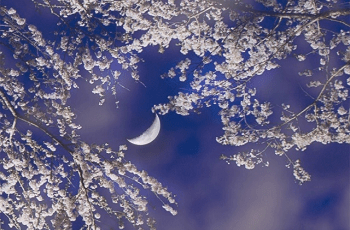 三日月と夜桜