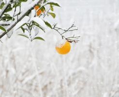 果実に積もった雪
