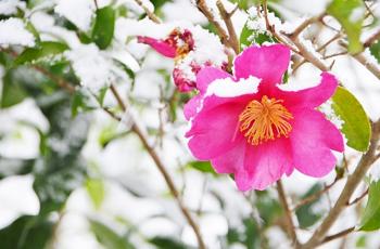椿の花に積もった雪