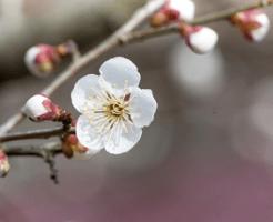一輪の白い梅の花