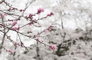 寒空に咲く桃の花
