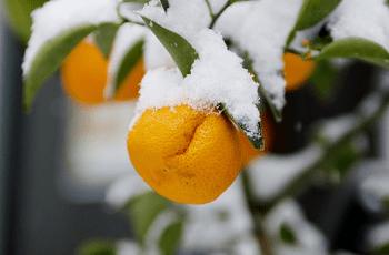 みかんの実と雪