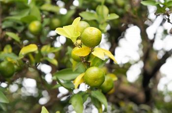 橘の木に成った実