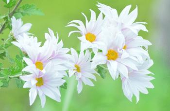 野に咲く白い菊の花