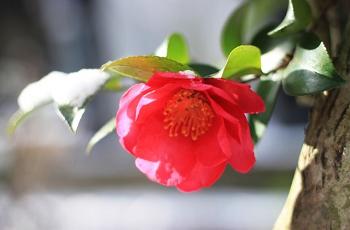 雪晴れに輝く椿の赤い花