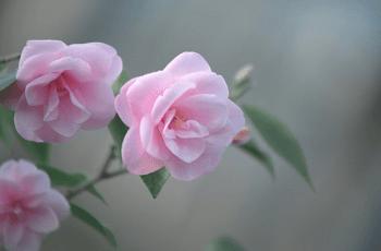薄いピンク色の椿の花