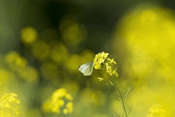 菜の花にとまるモンシロチョウ