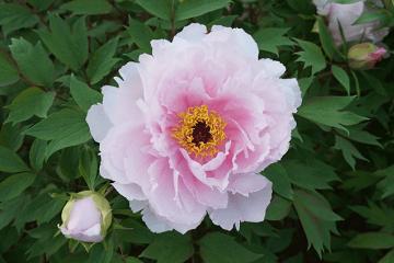 薄いピンク色の牡丹の花