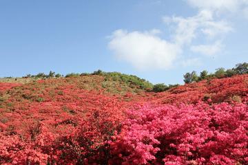 山一面に咲く赤い躑躅の花