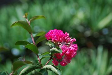 淡紅色の百日紅の花