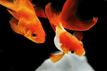じっとしている二匹の金魚