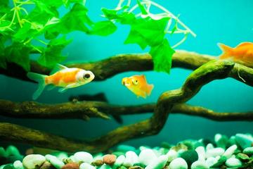 金魚の子供