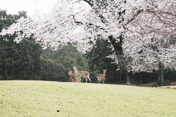 桜の木の下の三匹の鹿
