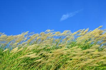風に吹かれる薄の穂と秋の青空