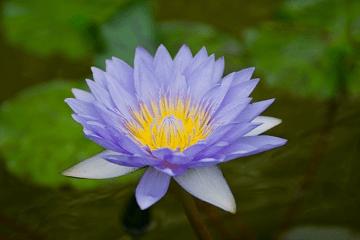 薄い青い色の睡蓮の花