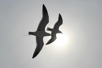 並んで飛ぶ二羽のカモメ