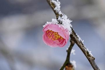 粉雪が積もったピンク色の梅の花