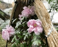 雪を被った牡丹の花