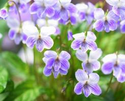 薄紫色の菫の花