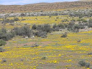 flowering Karoo, near the Highway N1 between L...
