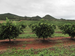 A citrus garden in the Gamtoos Valley, Eastern Cape (Copyright © 2014 by Chesney Bradshaw, all rights reserved)