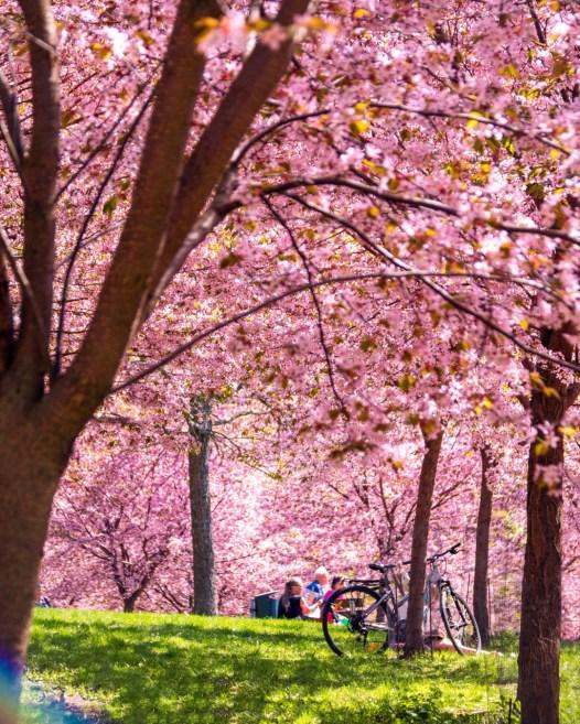 Kirsikkapuiden kukintaa. Kuva: Omar El Mrabt / Helsinki Marketing.