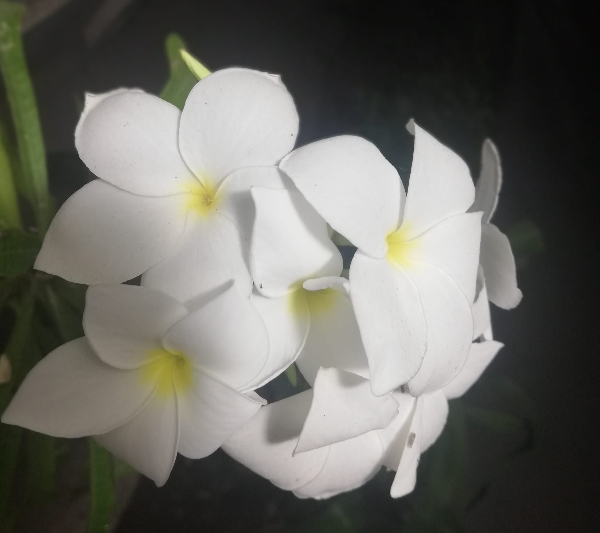 Hawaiian Plumeria Flowers Florida