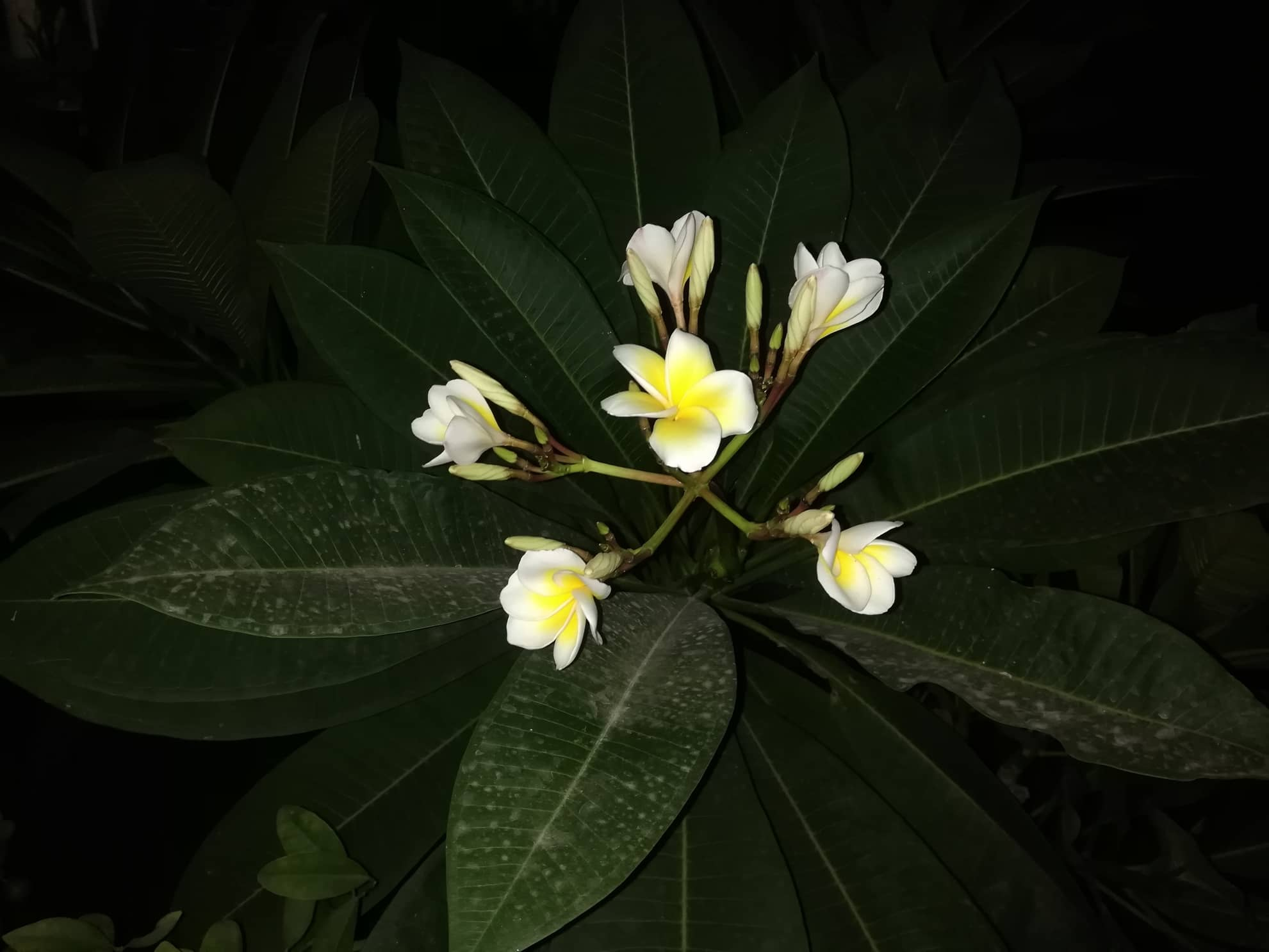 Hawaiian Plumeria Flowers