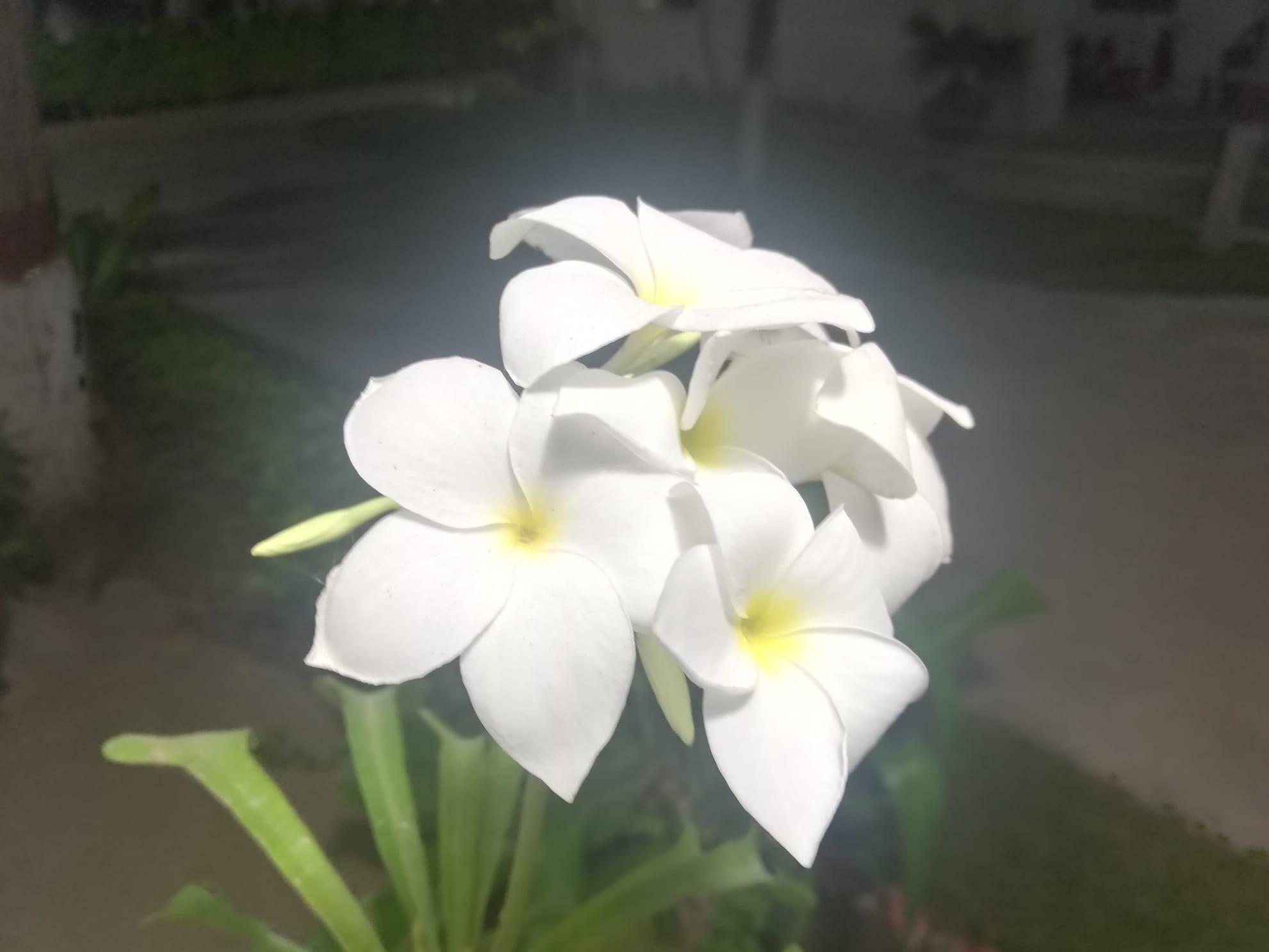 Hawaiian Plumeria White and Yellow Flowers