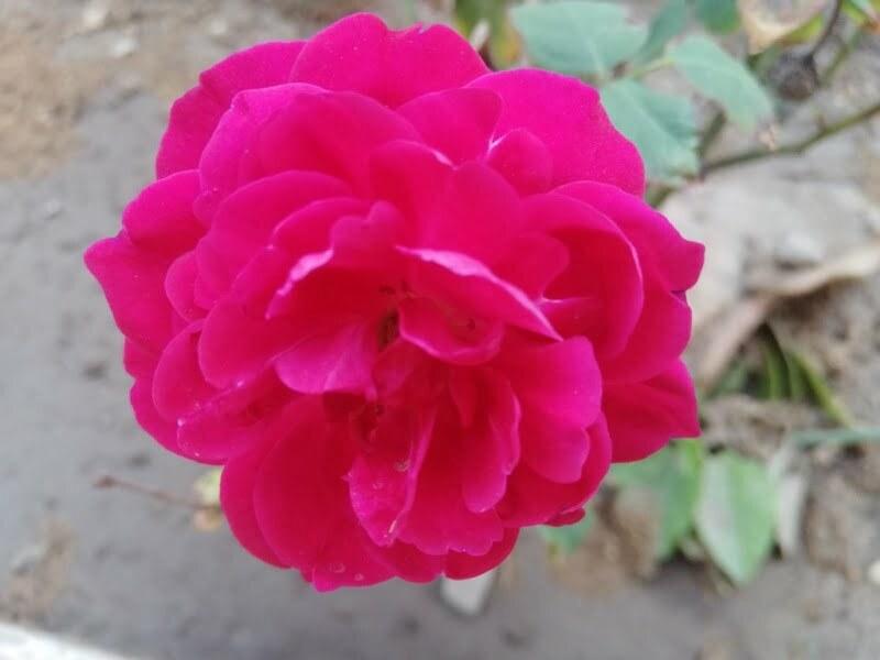 pink flower pink rose ideal inspiration inspiration motivation