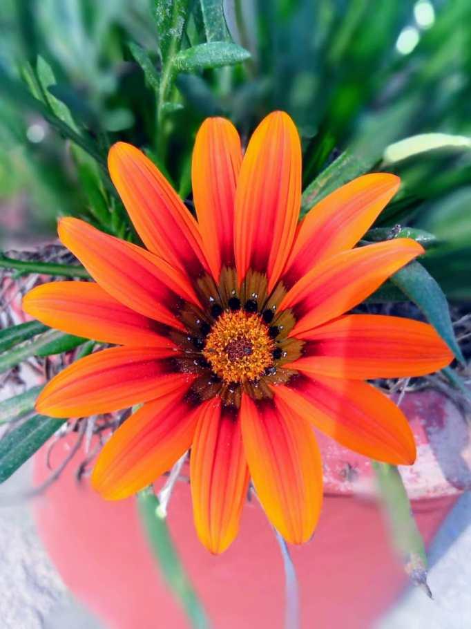 Gaillardia Yellow Red Flowers