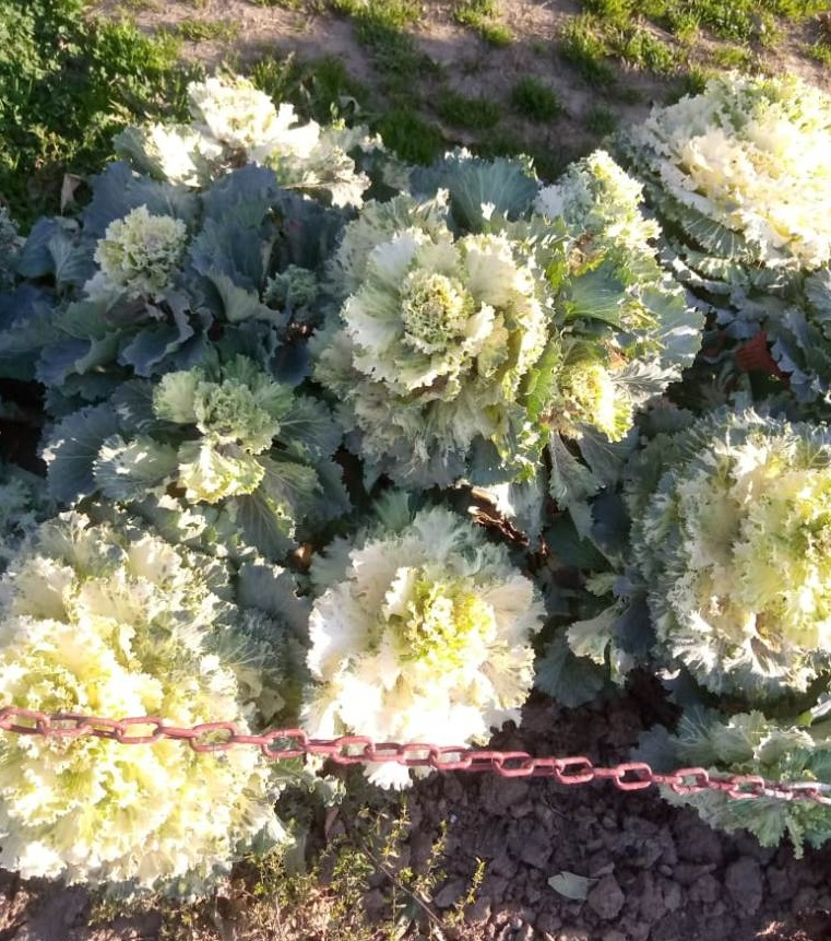 Spring wild cabbage flower