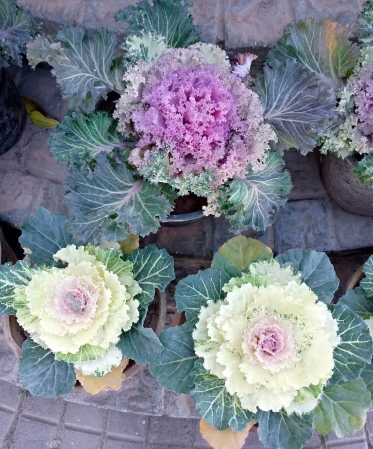 wild cabbage flower