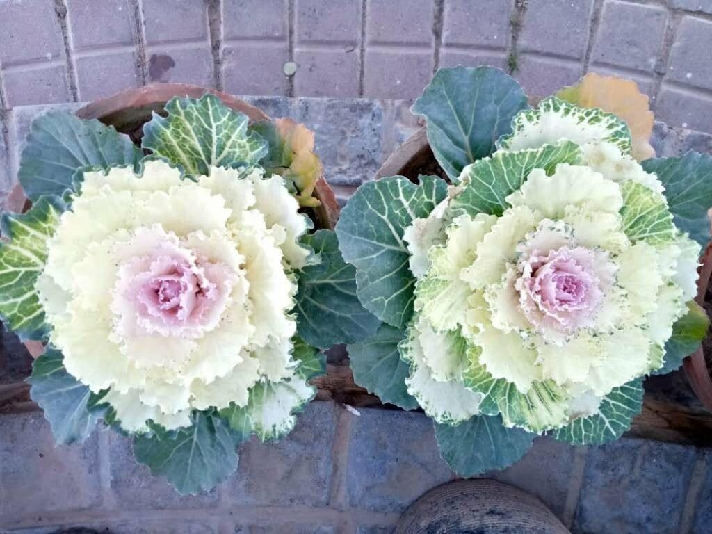 wild cabbage flowers