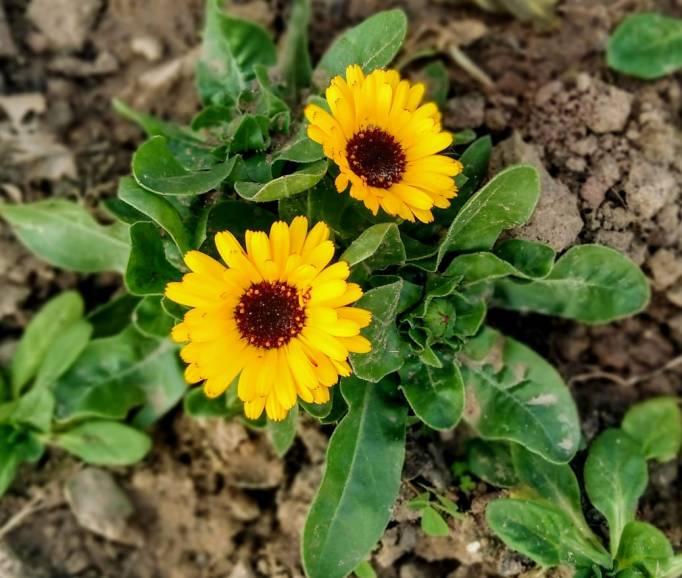 Yellow Daisies Flowers