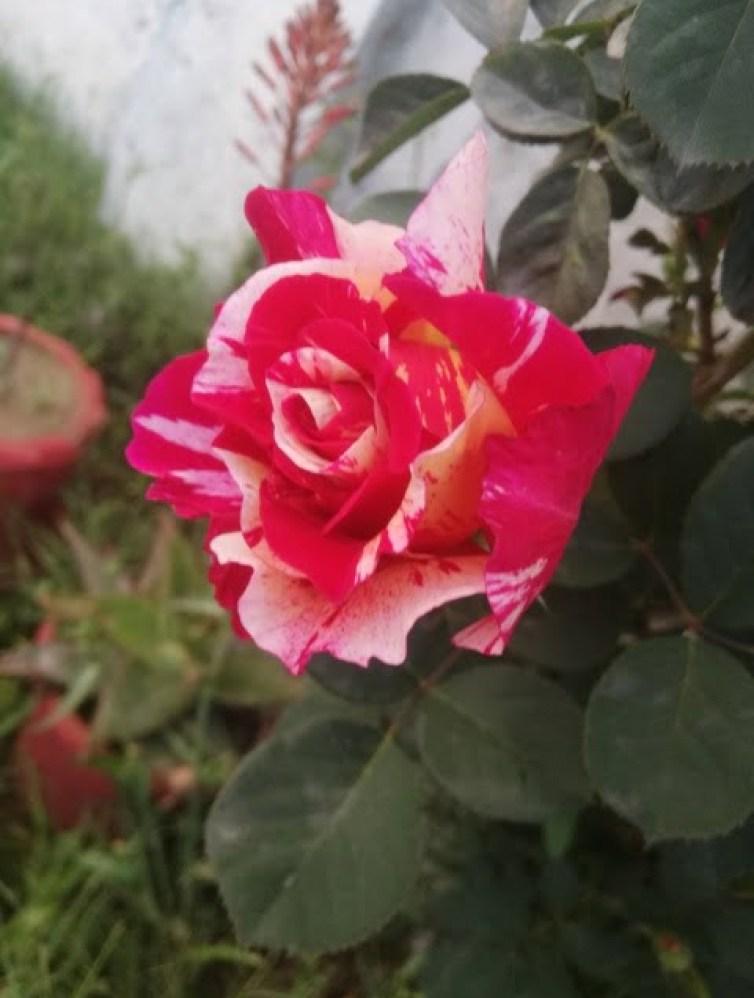 rose flower photos love