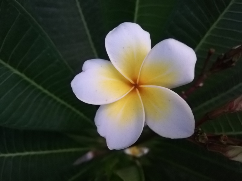 A White frangipane tree