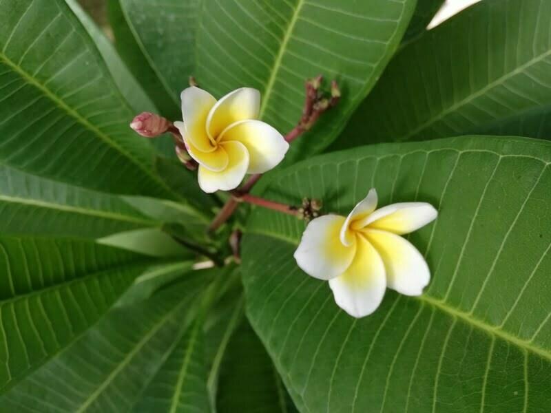 Plumeria alba Flowers