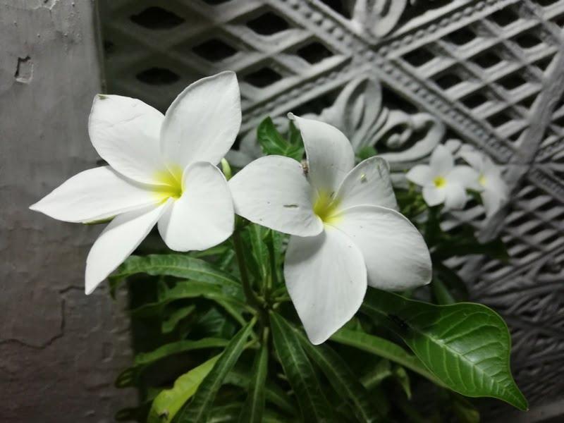 Tropical yellow and white flowers frangipani