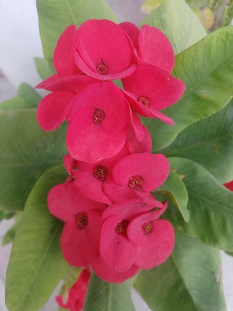 crown of thorns euphorbia milii