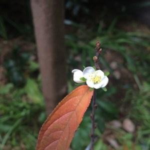 happy cherry flower