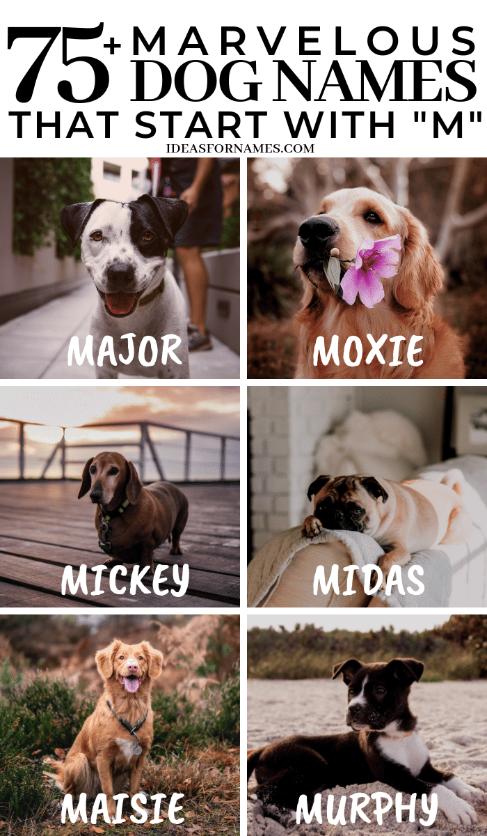 Marvelous Dog Names That Start With M, letter M name for puppy, #dognames #dog #ilovedogs #newpuppy #newdog