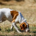 Best Hunting Dog Names Perfect For Your Tough Pup, Good Badass For Male or Female hunting breeds