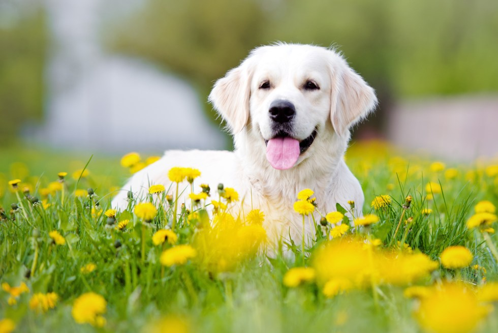 Wonderful White Dog Names, Cute and Unique White Puppy Names, White golden retriever