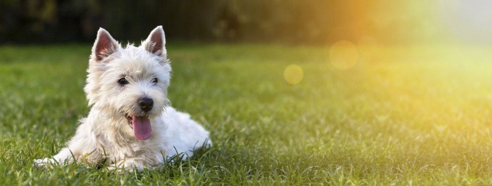 Wonderful White Dog Names, White Maltese