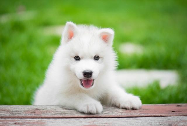 Wonderful White Dog Names, Cute and Unique White Puppy Names, White Husky