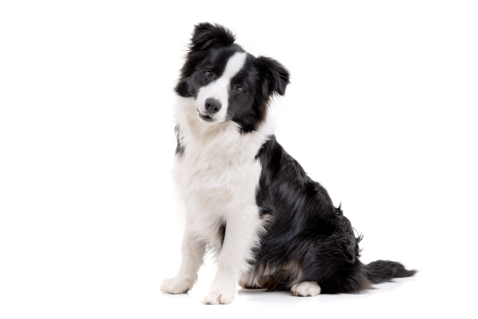 Best Black And White Dog Names For Your Two Tone Pup, border collie