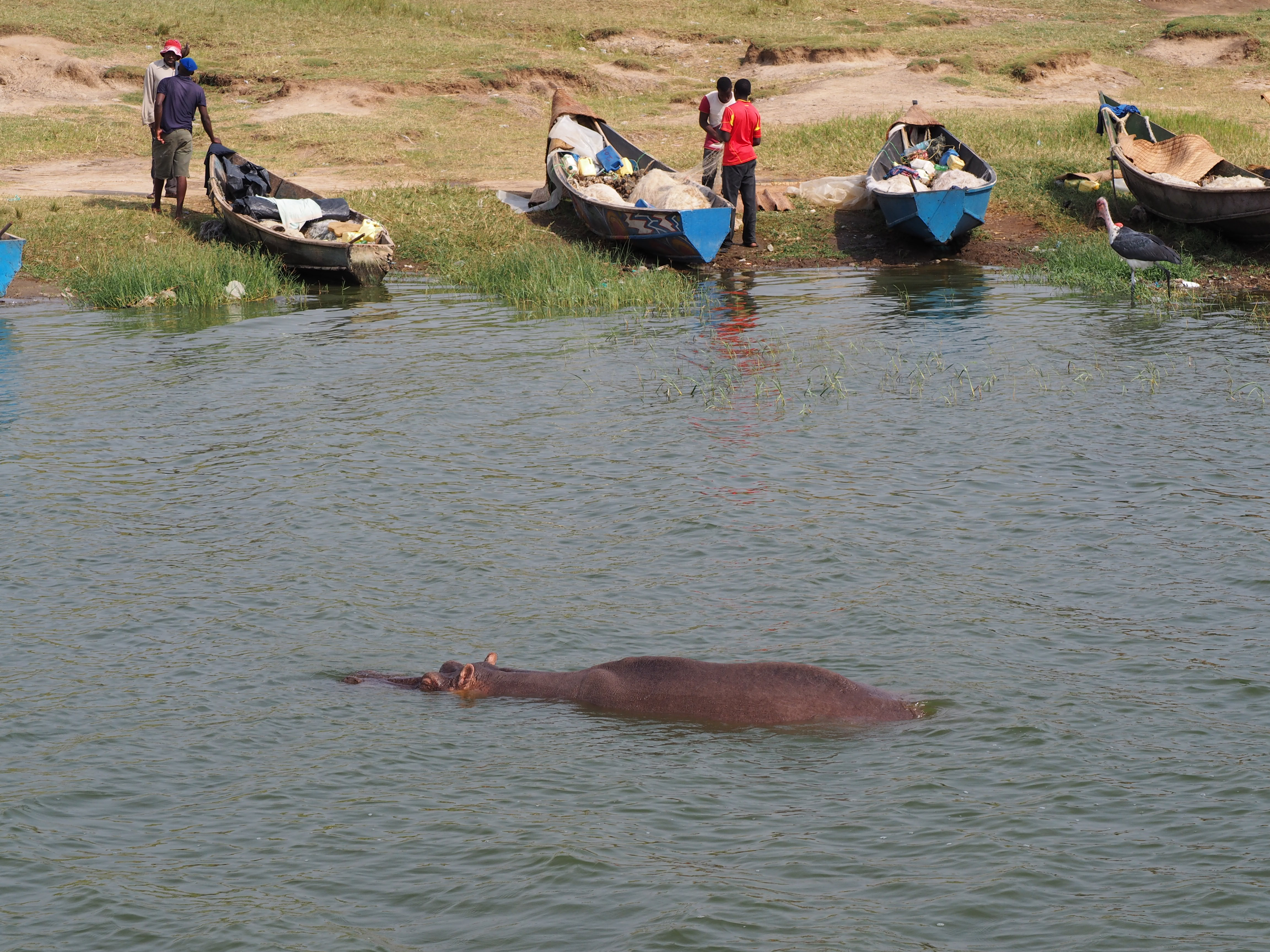 Local fisherman not intimidated by the hippos in southwestern Uganda